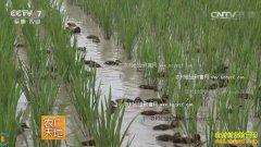 [农广天地]稻田养鸭种养结合生产技术
