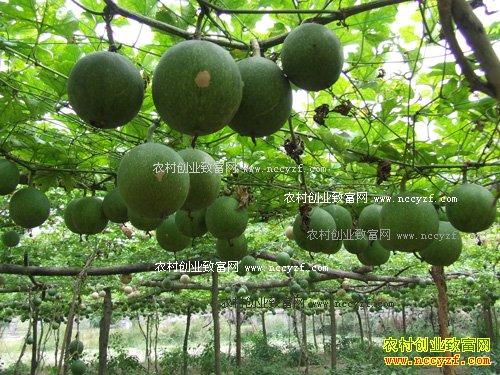 安徽长丰县邓宗才种植瓜蒌每亩效益6000元