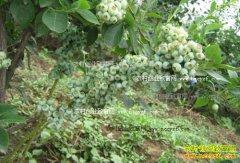 安徽省怀宁县:大棚种植双季蓝莓效益高