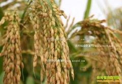 2017年水稻价格预测:明年稻谷托市价有望稳定
