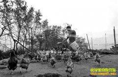 重庆綦江唐军、钟崇琴夫妇养殖珍禽和土鸡年利润20多万