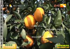 致富好榜样:爱媛28柑桔十元一斤 亩赚四万多块
