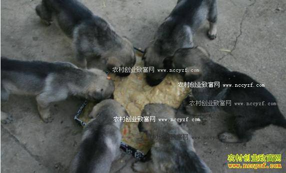 2017年养殖肉狗赚钱吗 肉狗养殖利润及前景分析