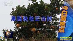 """[聚焦三农]江西赣州""""红土地""""上种出赚钱脐橙"""