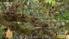 [每日农经]长在树干上的名贵药材石斛