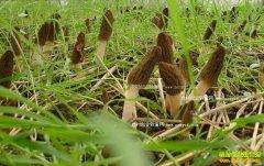 什么时间种植羊肚菌:四川栽植羊肚菌要在冬至前