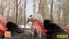 [每日农经]河南南召:山里散养火鸡效益高