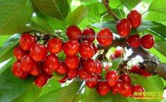 怎样种植大樱桃:设施栽培大樱桃 花果管理很重要