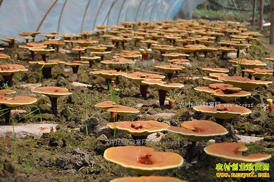 致富好榜样:河北平山县梁腊八种植灵芝效益高