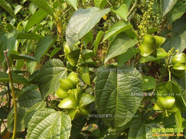 云南普洱神奇的美藤果种植效益好
