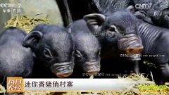 [每日农经]贵州从江县迷你香猪俏村寨