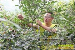 种植什么花椒品种效益好 3个花椒树品种推荐