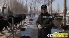 [致富经]黑龙江大庆张开秀养殖鸵鸟鸸鹋年销540万元