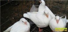 2017年养鸽子赚钱吗 肉鸽养殖利润和前景分析