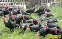 河南卢氏常新波养殖火鸡1600只半年净赚5万多元