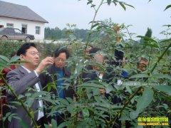 如何种植花椒 花椒种植技术详解