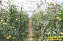 陕西商南县:种植大棚蔬菜成农民脱贫致富好项目