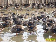 广西灌阳文齐富养殖绿头野鸭年产值超亿元