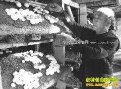 河南项城:大棚种植双孢菇一个大棚一年收入5万多元