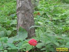 吉林抚松县徐西兰长白山林下种植中药材好致富