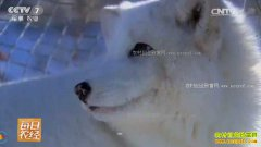 [每日农经]黑龙江漠河:养殖北极狐爱冷才会赢