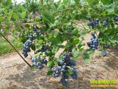2017年种植蓝莓赚钱吗 蓝莓市场缺口巨大种植前景广