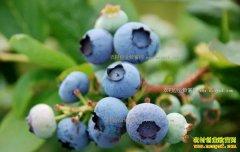 2017年蓝莓种植前景和效益分析