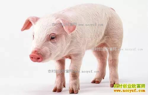2017年养猪补贴新政策和标准