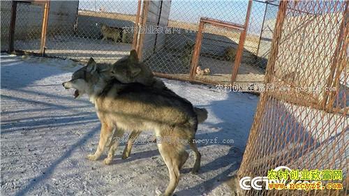 [致富经]内蒙古呼伦贝尔呼春养狼年赚百万