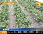 致富好榜样:湖北荆州彭定海大棚种草莓一亩效益两万元