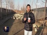 [聚焦三农]节前烤鸭市场和Z型北京鸭养殖调查