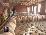 [聚焦三农]羊肉里的生意和年味 2017年春节前羊肉价格调查
