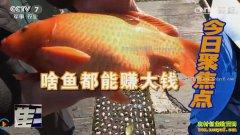 [聚焦三农]江西婺源毛亚春手工制作酒糟鱼卖价好