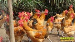 安徽潜山3000只土鸡急寻销路