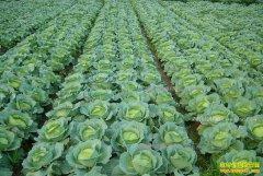 安徽宿松800多亩包菜价格下跌急寻销路