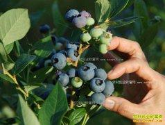 蓝莓市场缺口巨大 2017年蓝莓种植前景好能赚钱