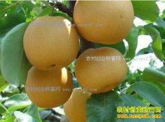 河南郏县安良镇5万公斤晚秋黄梨亟待出售