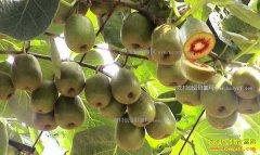四川广元徐久均种植红心猕猴桃年入23万元