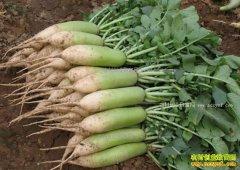 天津沙窝萝卜价格堪比水果 种植沙窝萝卜赚钱吗