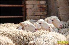 西藏班戈县:养羊加工羊毛成农民致富好项目