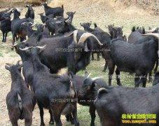 养100只黑山羊能赚多少钱?萨能黑山羊养殖效益分析