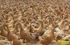 养殖蛋鸭赚钱吗 2017年蛋鸭养殖成本和利润