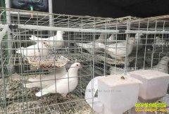 今年养鸽子赚钱吗?2017年肉鸽养殖成本与效益分析