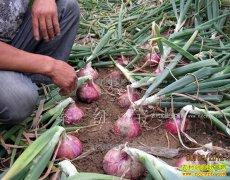 陕西杨凌罗恩后种植培育洋葱新品种秦红宝效益高
