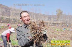 青海大通县东至沟村种植当归成农民脱贫致富好项目