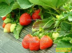 草莓价格一斤跌5块 山东青岛本地草莓3月份将批量上市