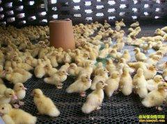 四川开江宏富禽业专业合作社养鸭孵化鸭苗助农致富