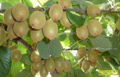 种植猕猴桃赚钱吗:未来我国猕猴桃产业前景可期