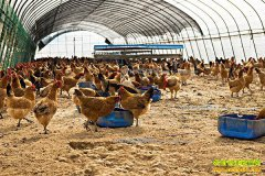 2017养鸡成本与利润分析
