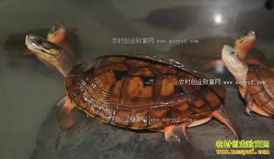 养殖淡水虾类仍是热点